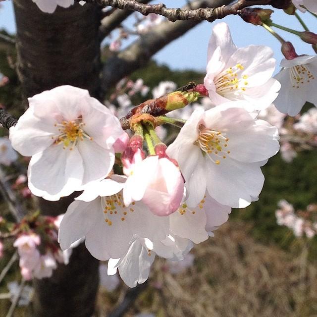 満開近し #桜 #like