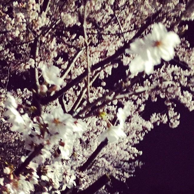 静か #夜桜 #like