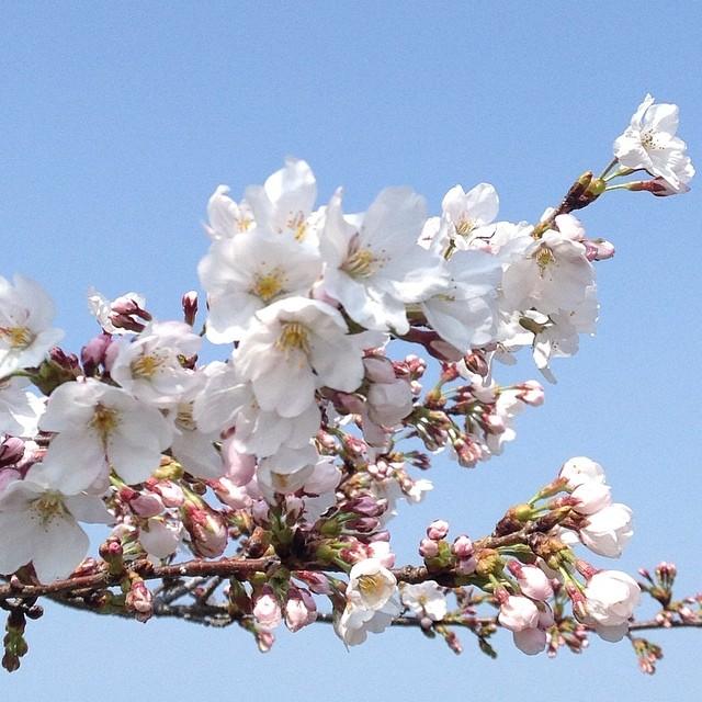 満開近し #like #桜