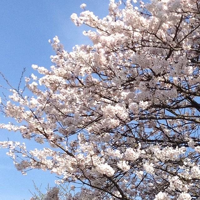 #桜 #イマソラ #空 #雲 #like #sky