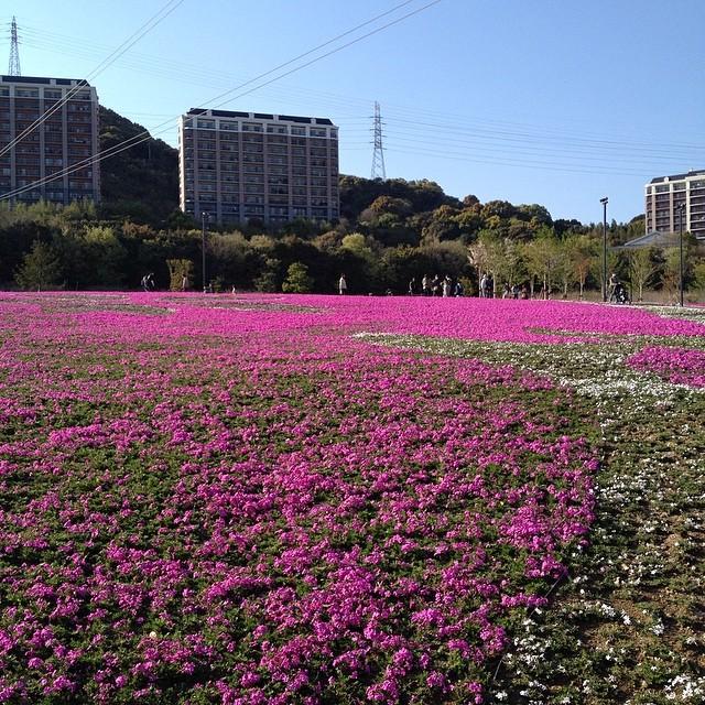 芝桜 #イマソラ #空 #雲 #like