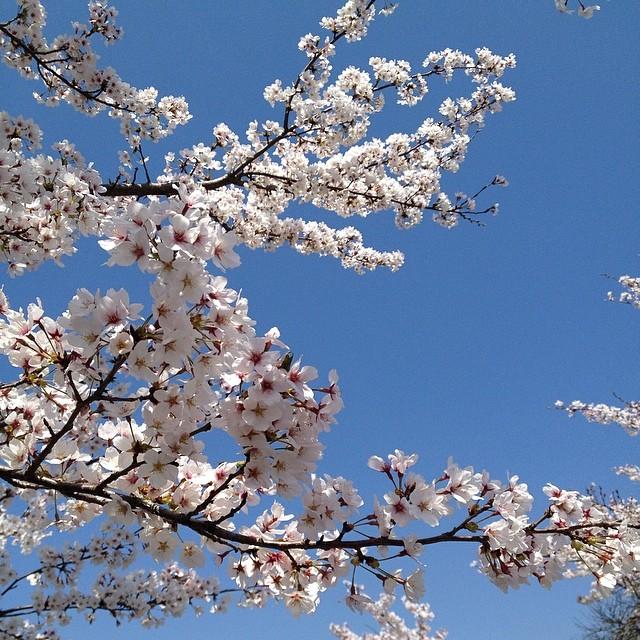 散り始めています #桜 #イマソラ #空 #like #sky